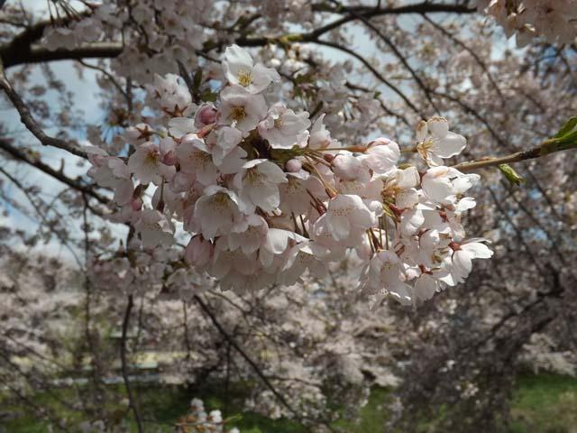 秋田市楢山太平川沿いの桜_f0019498_13505563.jpg