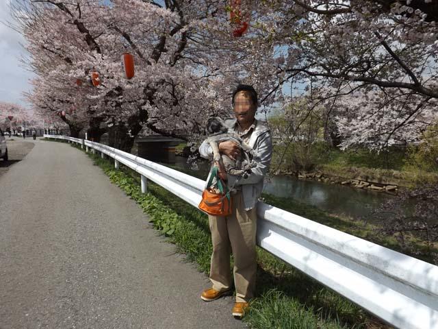 秋田市楢山太平川沿いの桜_f0019498_13511922.jpg