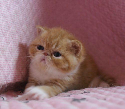 エキゾチックショートヘア赤ちゃん 3月27日生まれ 3週目 チビチビタっ子_e0033609_17350676.jpg