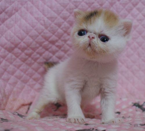 エキゾチックショートヘア赤ちゃん 3月27日生まれ 3週目 チビチビタっ子_e0033609_17374052.jpg