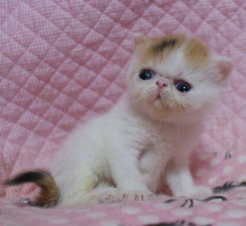 エキゾチックショートヘア赤ちゃん 3月27日生まれ 3週目 チビチビタっ子_e0033609_17382576.jpg