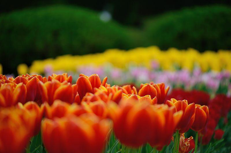 咲いた~♪咲いた♪チューリップの花が@府立植物園_f0032011_19124655.jpg
