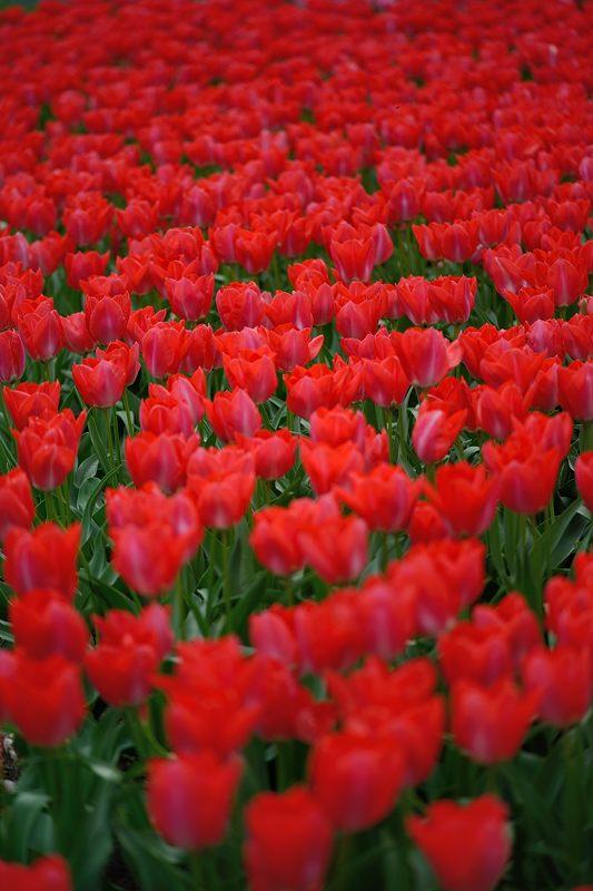 咲いた~♪咲いた♪チューリップの花が@府立植物園_f0032011_19144345.jpg