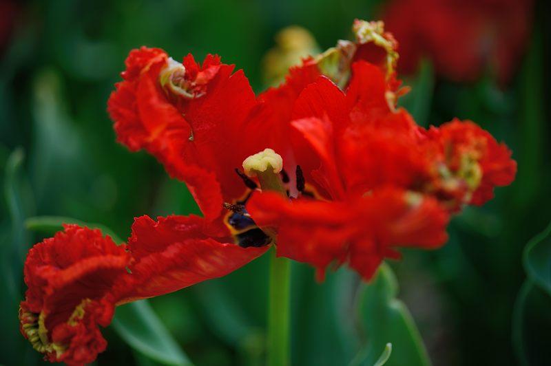 咲いた~♪咲いた♪チューリップの花が@府立植物園_f0032011_19155336.jpg