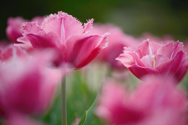 咲いた~♪咲いた♪チューリップの花が@府立植物園_f0032011_19161344.jpg