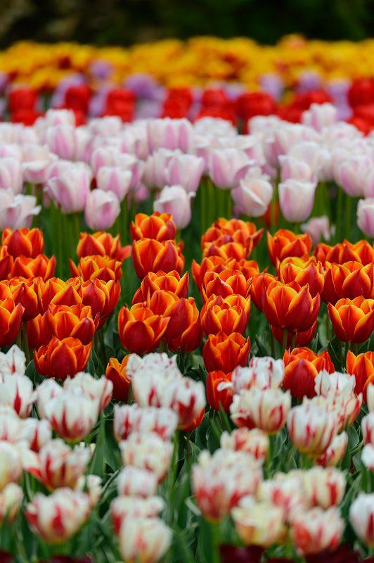 咲いた~♪咲いた♪チューリップの花が@府立植物園_f0032011_1916335.jpg