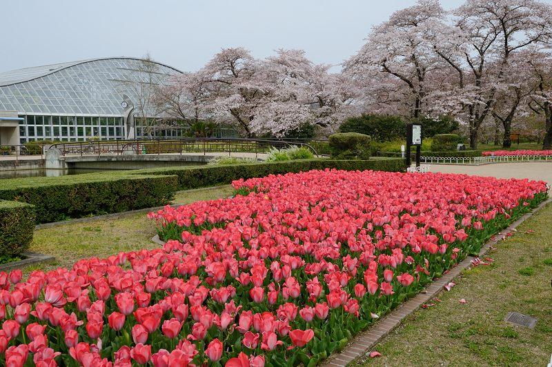 咲いた~♪咲いた♪チューリップの花が@府立植物園_f0032011_1992466.jpg