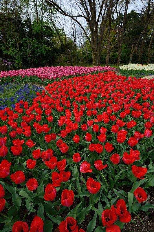咲いた~♪咲いた♪チューリップの花が@府立植物園_f0032011_1993462.jpg