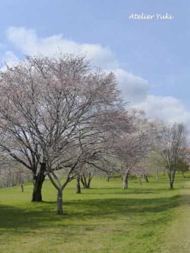 いつもの桜_f0240834_01224120.jpg