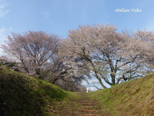 いつもの桜_f0240834_01234433.jpg