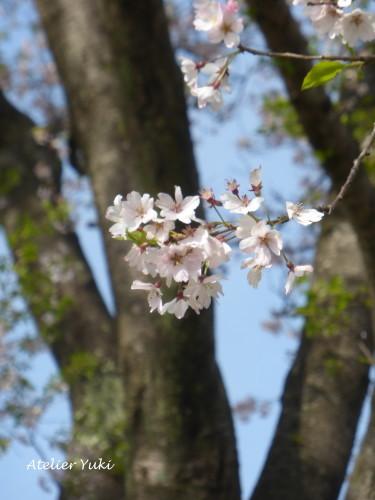 いつもの桜_f0240834_01242183.jpg