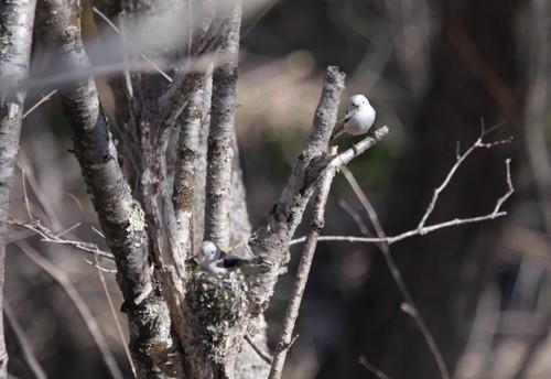 春採公園シマエナガの家つくり 4月21日_f0113639_1605326.jpg