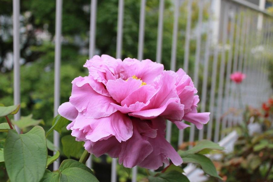 蘭香茶館の牡丹花を満開_f0070743_10143263.jpg