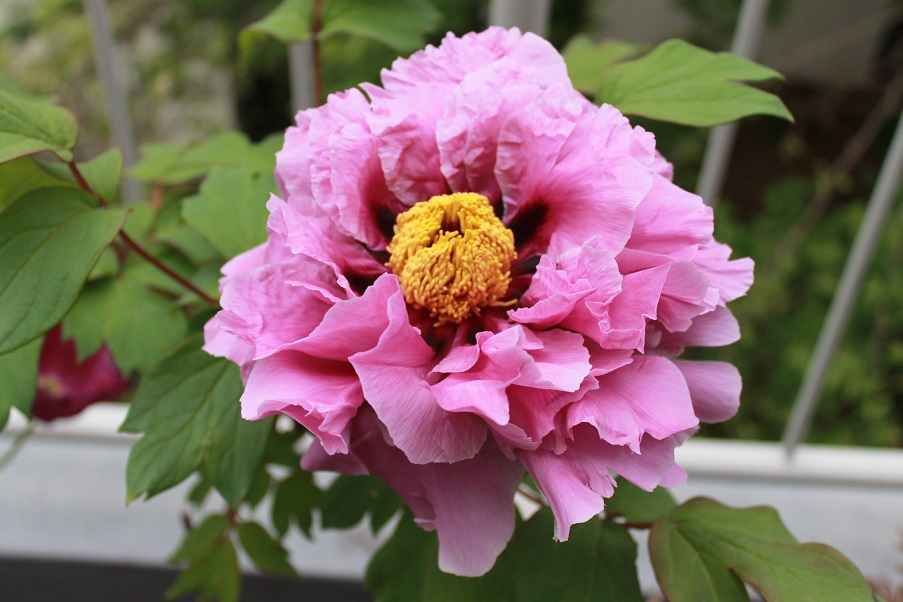蘭香茶館の牡丹花を満開_f0070743_1014458.jpg