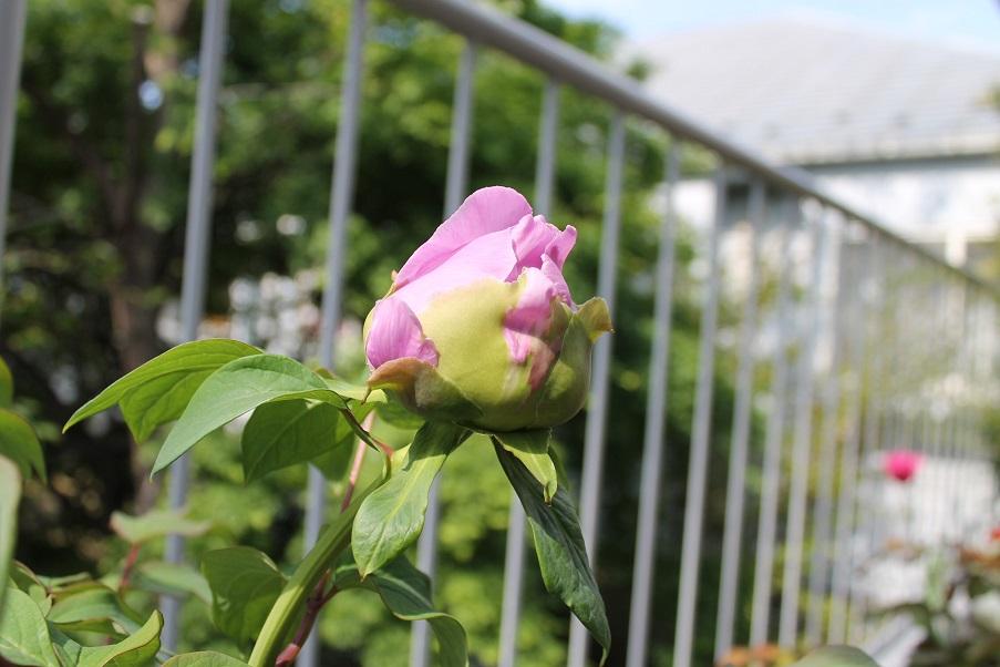 蘭香茶館の牡丹花を満開_f0070743_10145946.jpg