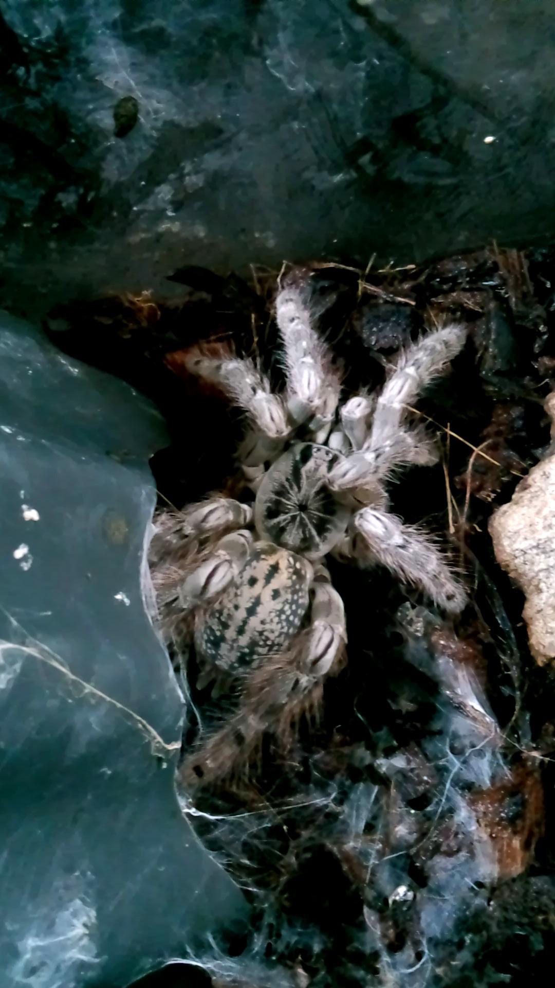 ペット「白黒土蜘蛛」_b0362459_12563815.jpg