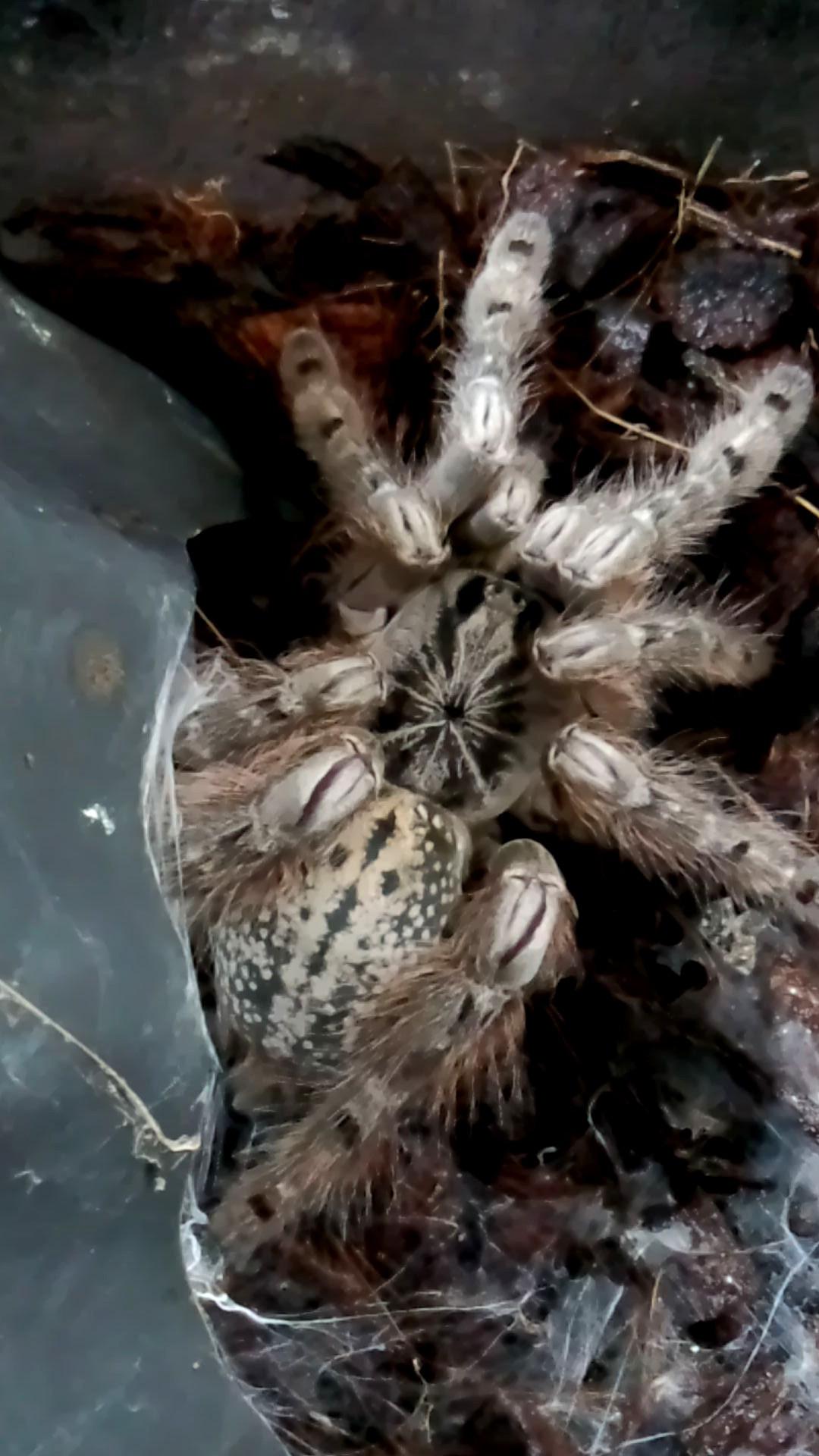 ペット「白黒土蜘蛛」_b0362459_12564424.jpg