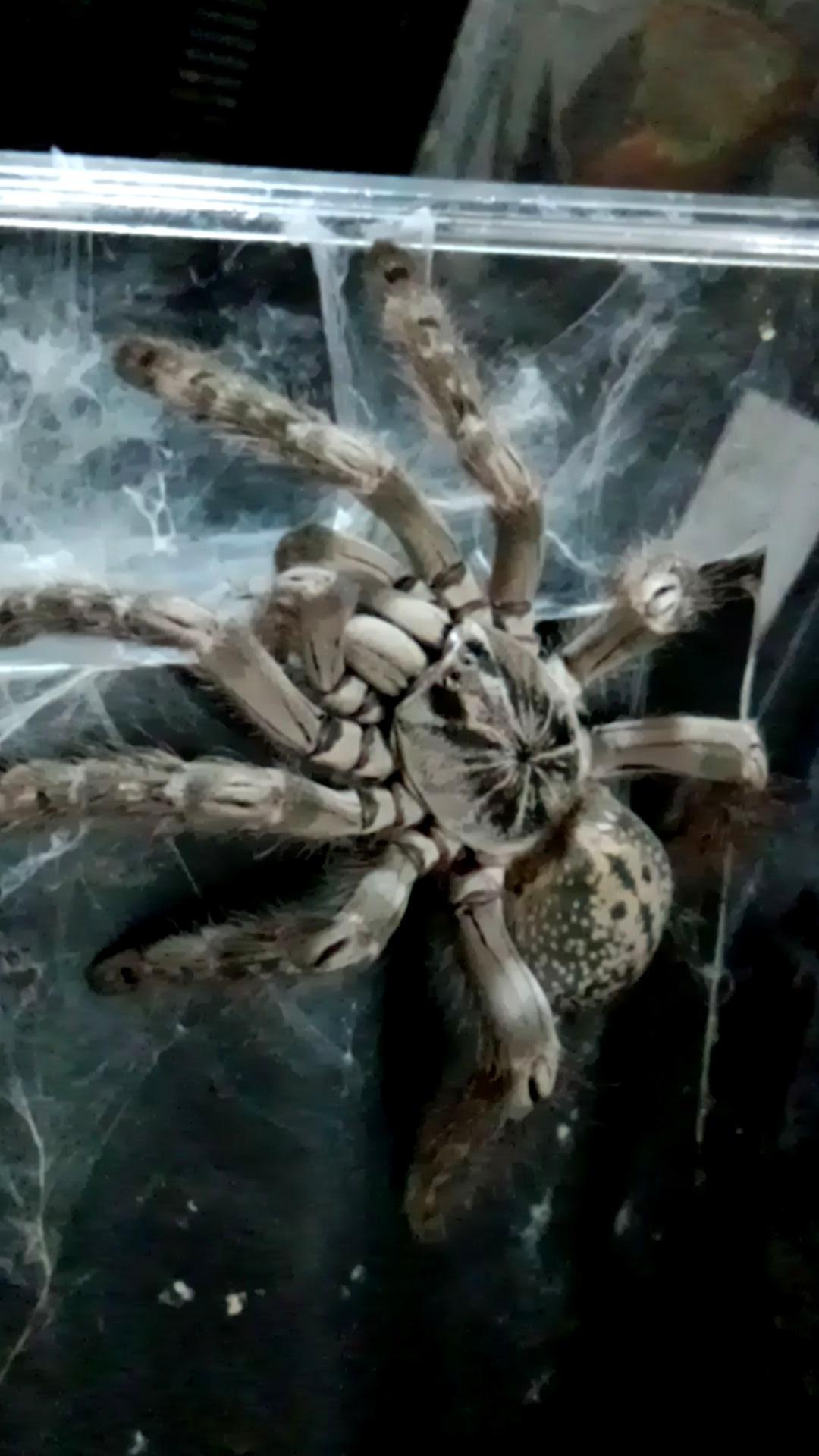 ペット「白黒土蜘蛛」_b0362459_12565064.jpg