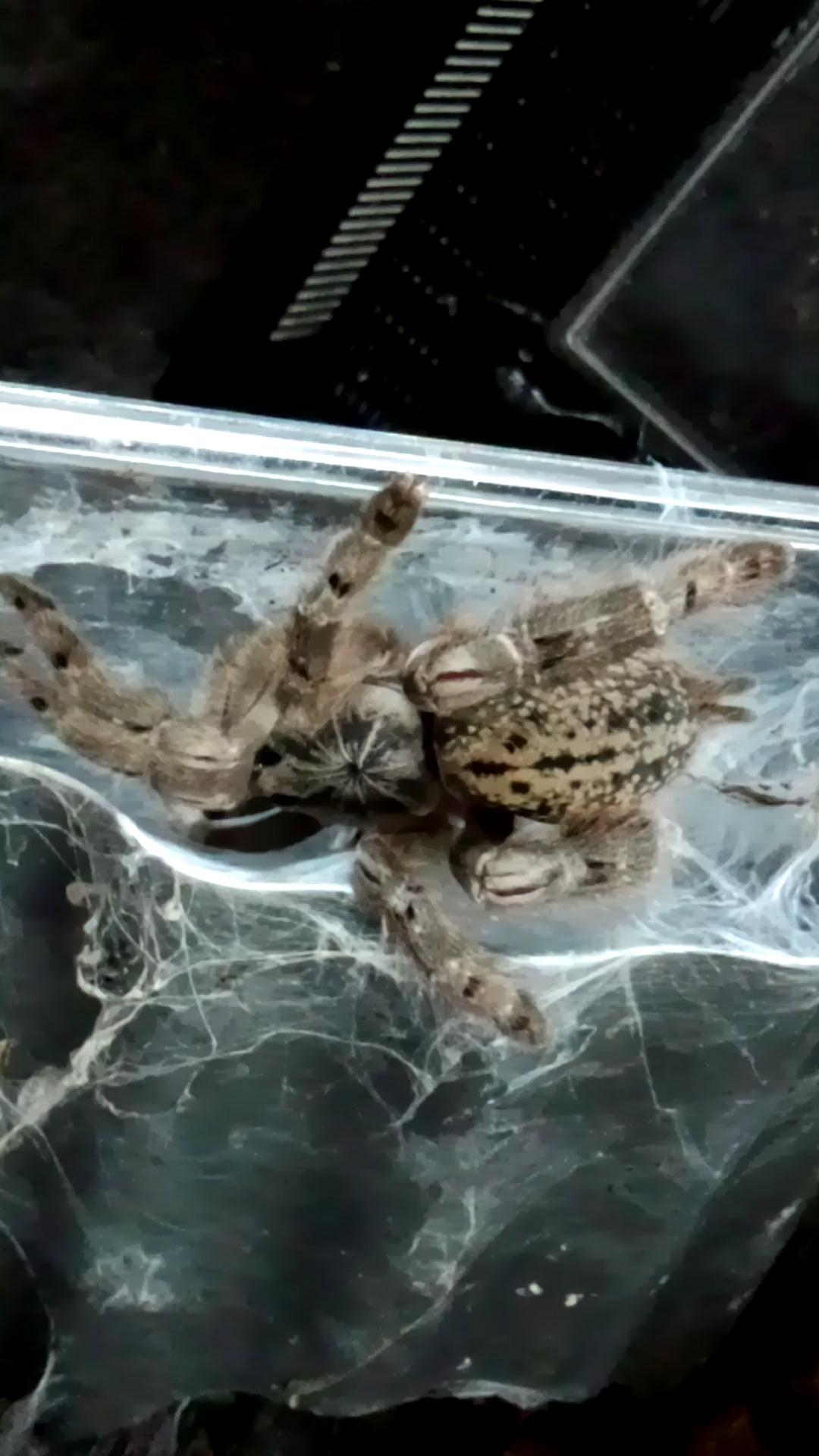 ペット「白黒土蜘蛛」_b0362459_12565392.jpg