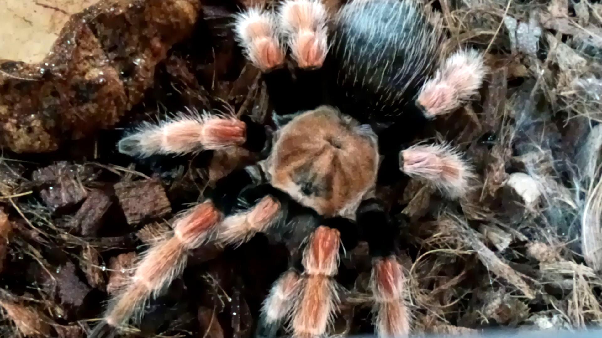 ペット「白黒土蜘蛛」_b0362459_12565637.jpg