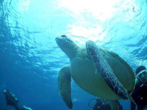 ケラマでウミガメと泳いできました!!_a0156273_17453518.jpg