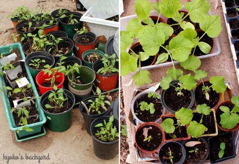 花壇の様子と野菜の苗たち(4月中旬)_b0253205_02581760.jpg