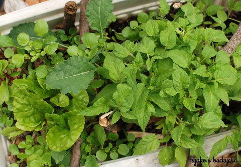 花壇の様子と野菜の苗たち(4月中旬)_b0253205_02593673.jpg