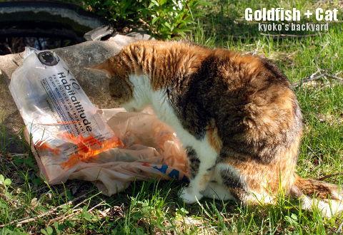 金魚 + 猫_b0253205_15112946.jpg