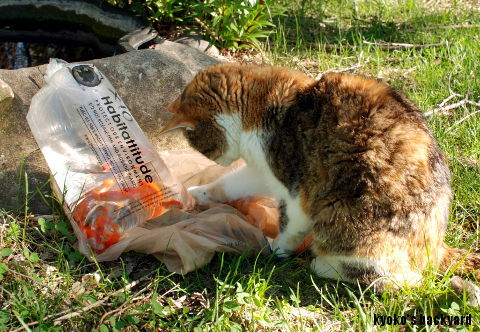 金魚 + 猫_b0253205_15114596.jpg
