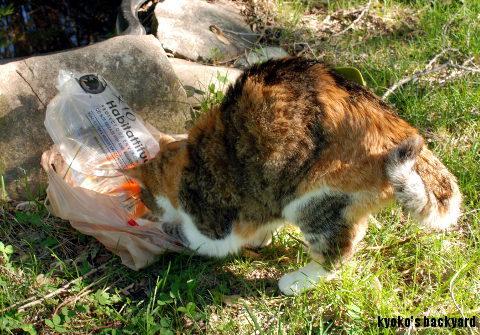 金魚 + 猫_b0253205_15121498.jpg