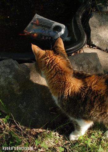 金魚 + 猫_b0253205_15122905.jpg