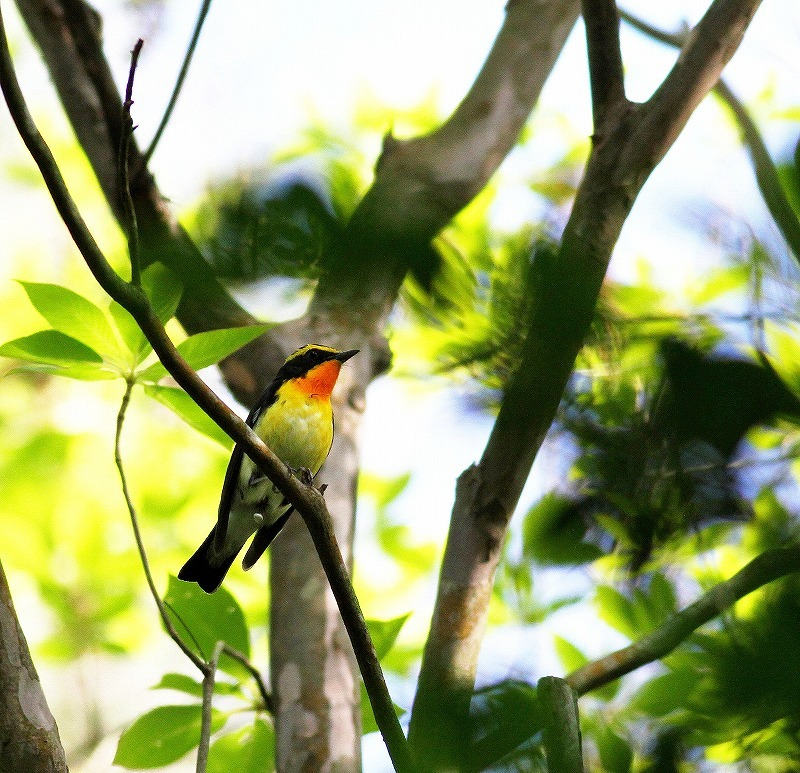MFの夏鳥の到来・・・_c0213607_19253680.jpg