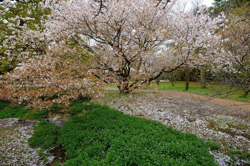 京の枝垂れ桜巡り2016@御所近衛邸跡の紅枝垂れ桜_f0032011_18222518.jpg