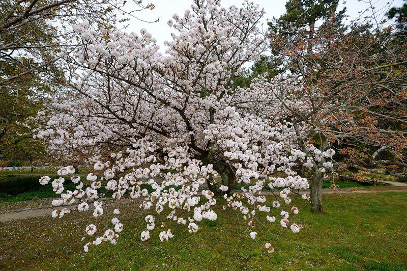 京の枝垂れ桜巡り2016@御所近衛邸跡の紅枝垂れ桜_f0032011_18224751.jpg