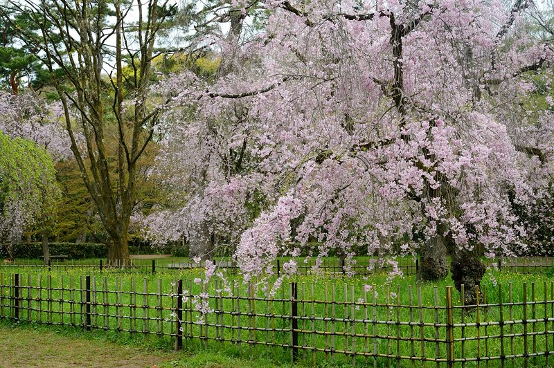 京の枝垂れ桜巡り2016@御所近衛邸跡の紅枝垂れ桜_f0032011_18261734.jpg