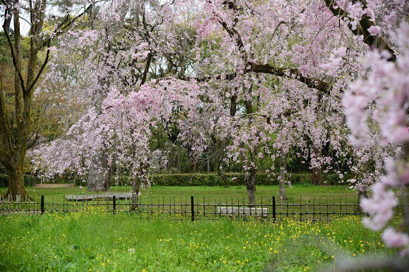 京の枝垂れ桜巡り2016@御所近衛邸跡の紅枝垂れ桜_f0032011_18263948.jpg