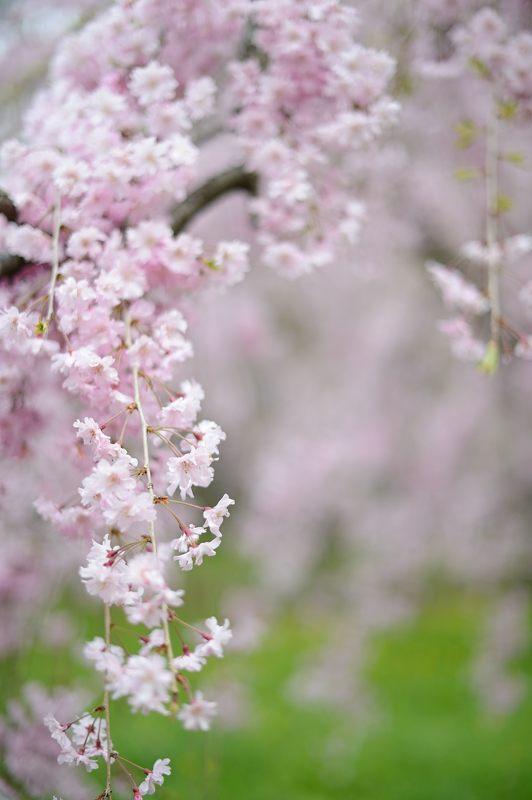 京の枝垂れ桜巡り2016@御所近衛邸跡の紅枝垂れ桜_f0032011_18265594.jpg