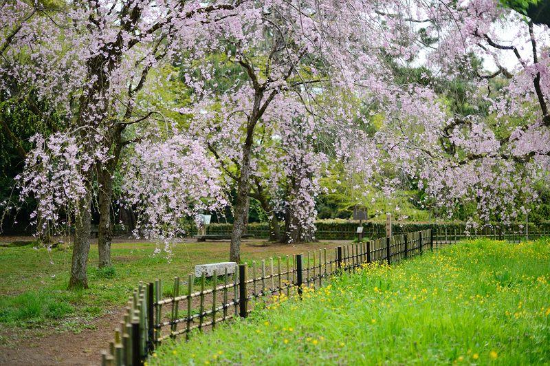 京の枝垂れ桜巡り2016@御所近衛邸跡の紅枝垂れ桜_f0032011_18283562.jpg