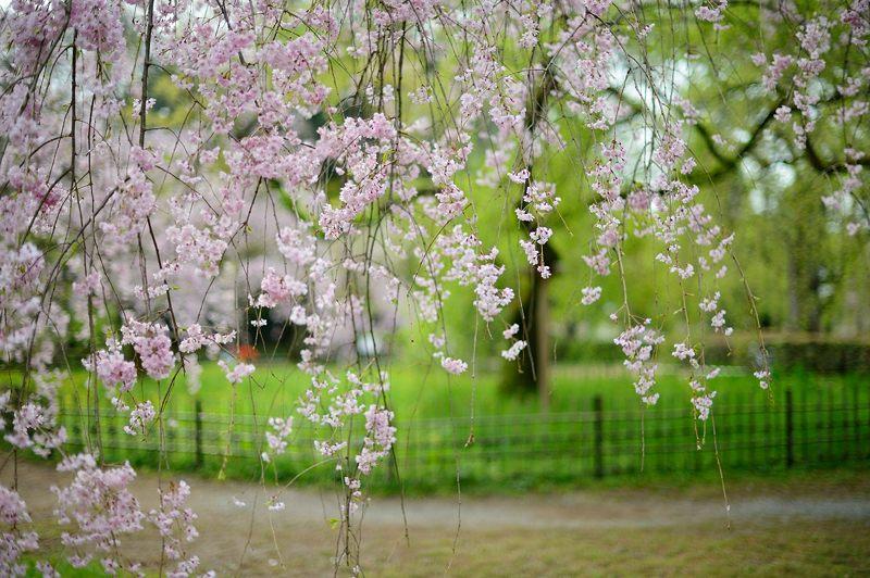 京の枝垂れ桜巡り2016@御所近衛邸跡の紅枝垂れ桜_f0032011_18284433.jpg