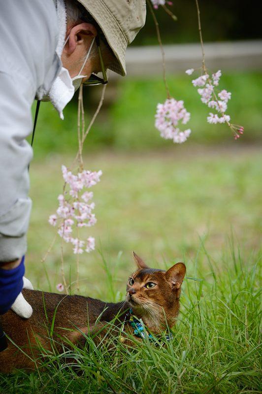 京の枝垂れ桜巡り2016@御所近衛邸跡の紅枝垂れ桜_f0032011_1828948.jpg