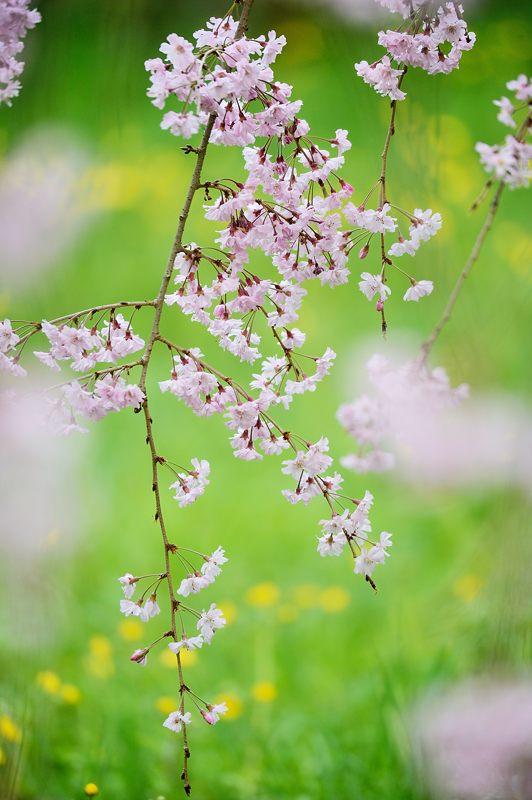 京の枝垂れ桜巡り2016@御所近衛邸跡の紅枝垂れ桜_f0032011_1829109.jpg