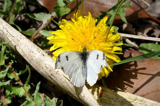 4月の蝶_e0194952_18133688.jpg