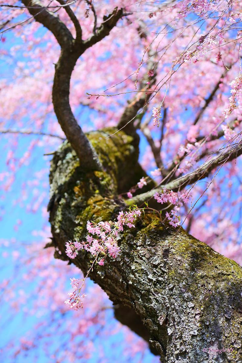 桜をを纏うひとへ_a0274805_05231943.jpg