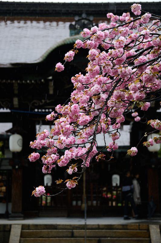 京の桜巡り2016@六孫王神社 八重桜_f0032011_183319.jpg