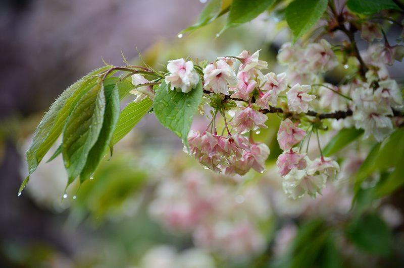 京の桜巡り2016@六孫王神社 八重桜_f0032011_18331987.jpg