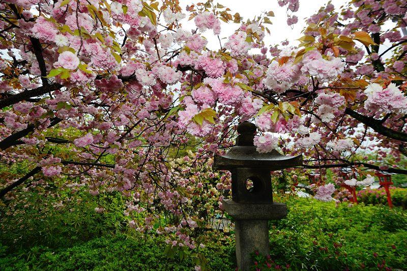 京の桜巡り2016@六孫王神社 八重桜_f0032011_18371026.jpg