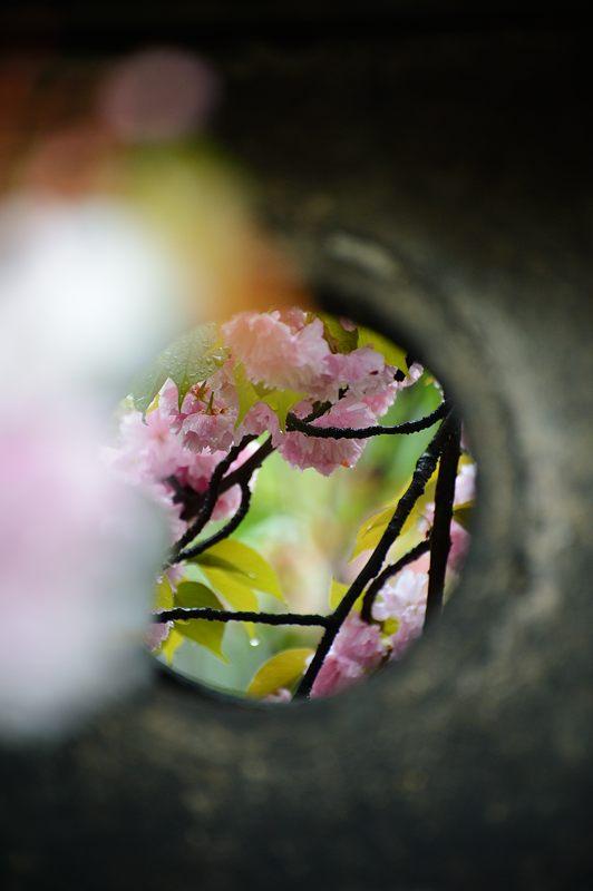 京の桜巡り2016@六孫王神社 八重桜_f0032011_18372596.jpg
