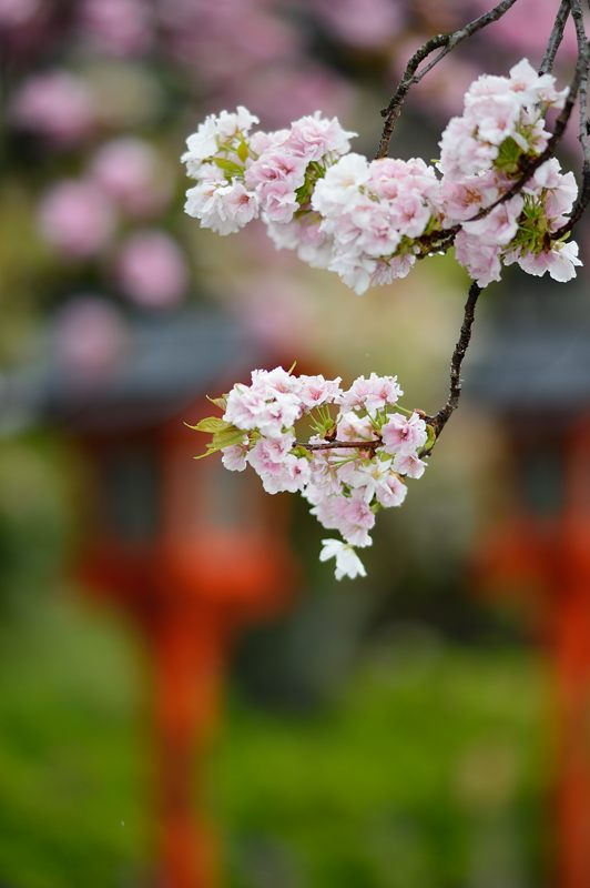 京の桜巡り2016@六孫王神社 八重桜_f0032011_1838369.jpg