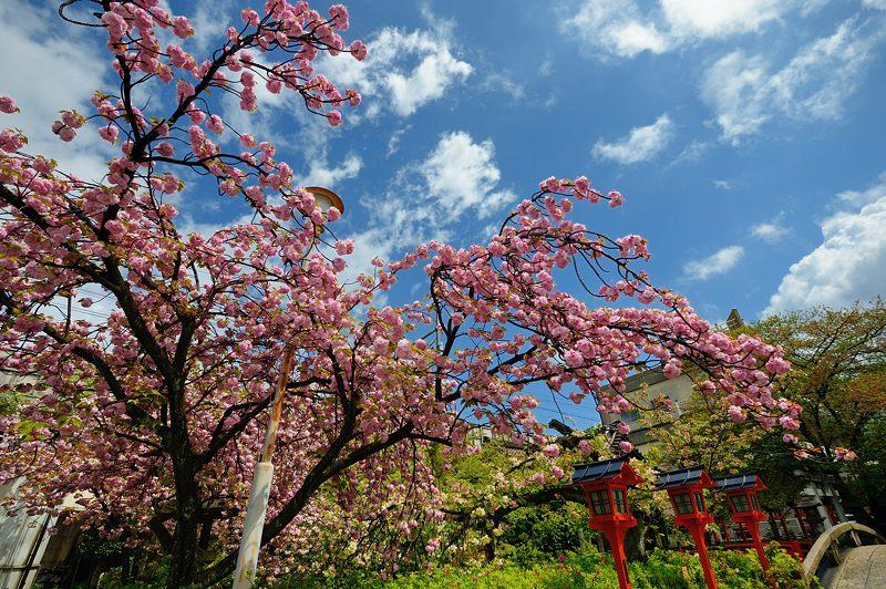 京の桜巡り2016@六孫王神社 八重桜_f0032011_18394652.jpg
