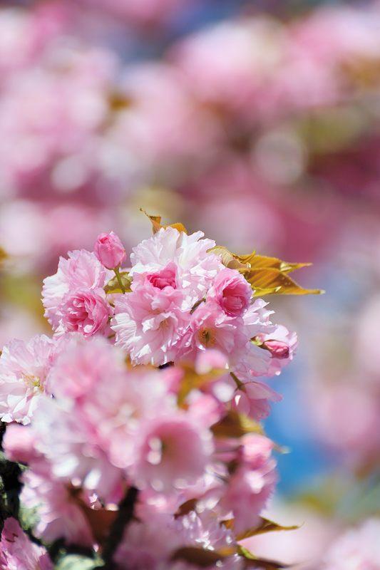 京の桜巡り2016@六孫王神社 八重桜_f0032011_18401833.jpg